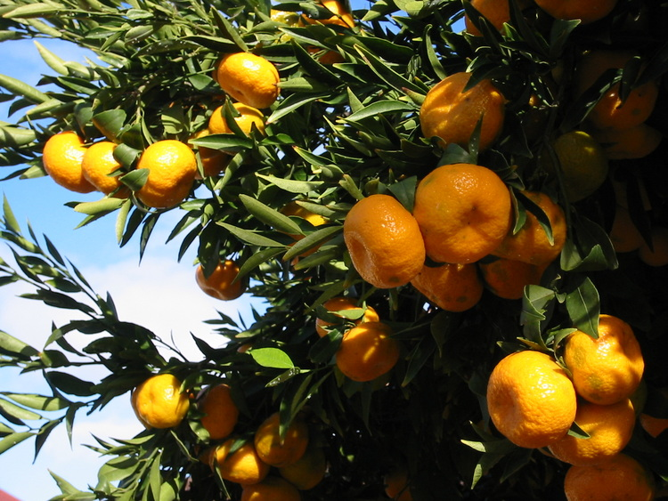 Mandarin tree fruiting