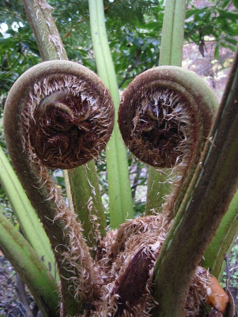 A pair of new fern fronds