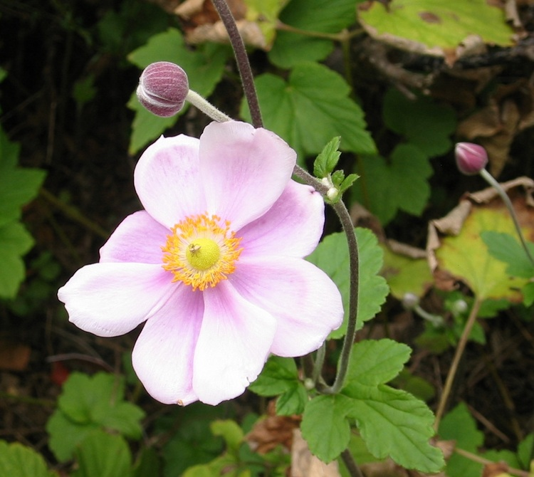 Japanese Anemone flower and bud