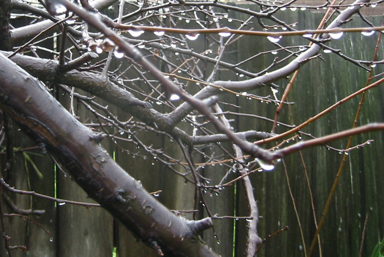 Raindrops on Plum Tree