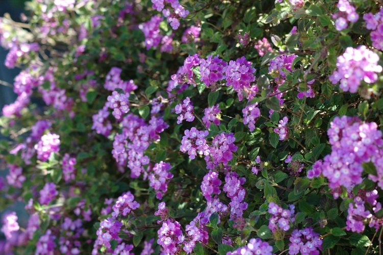 A mauve-flowered bush