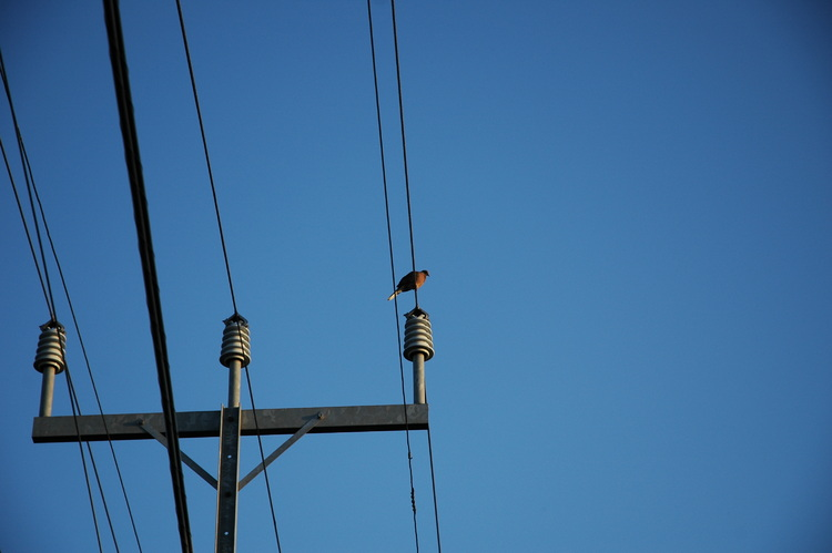 A pigeon sitting on a wire, lit by a sunset