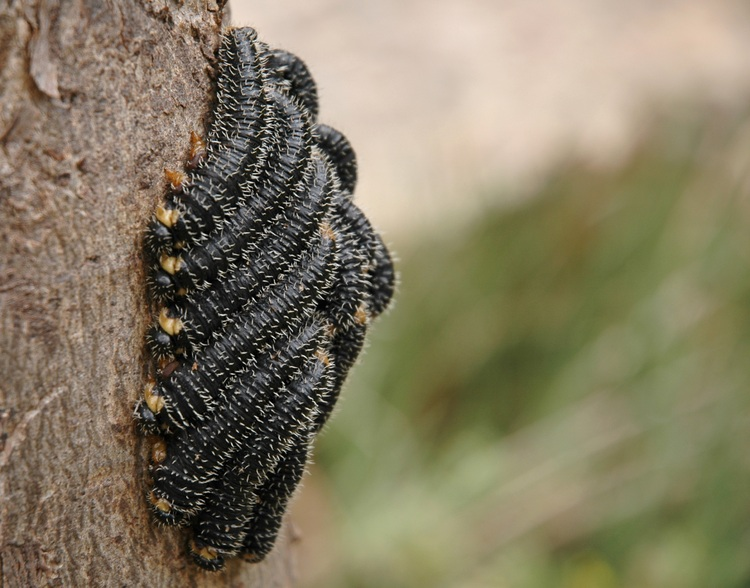 A cluster of caterpillars on a tree