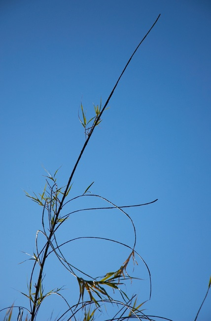 Bamboo stems against a blue sky