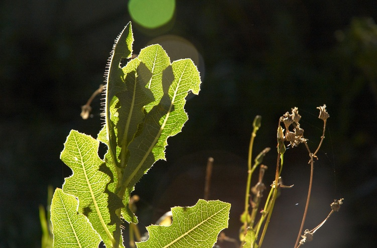 A thistle leaf backlit by the evening sun