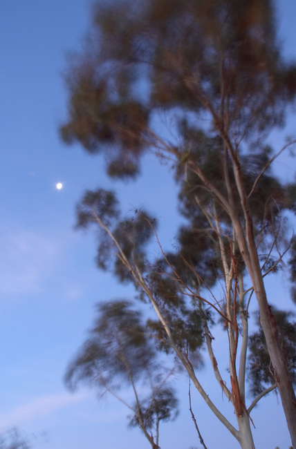 Long exposure of Gum trees