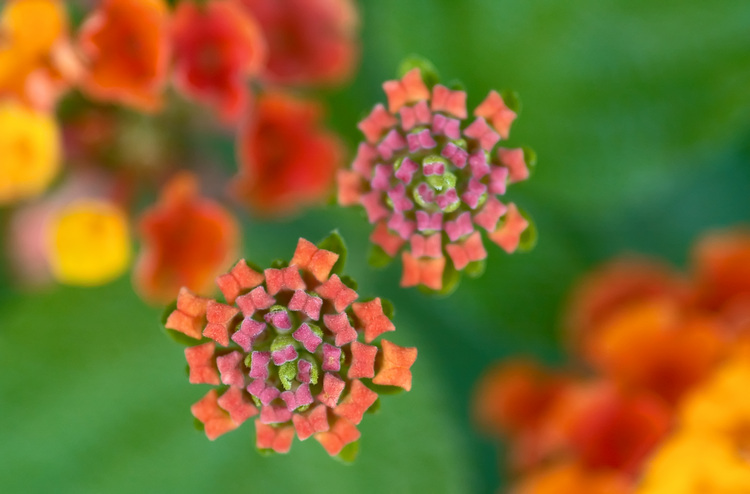 Closeup of Lantana buds