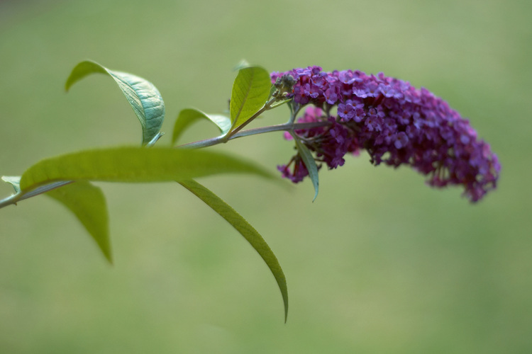 Closeup of a buddleia flower