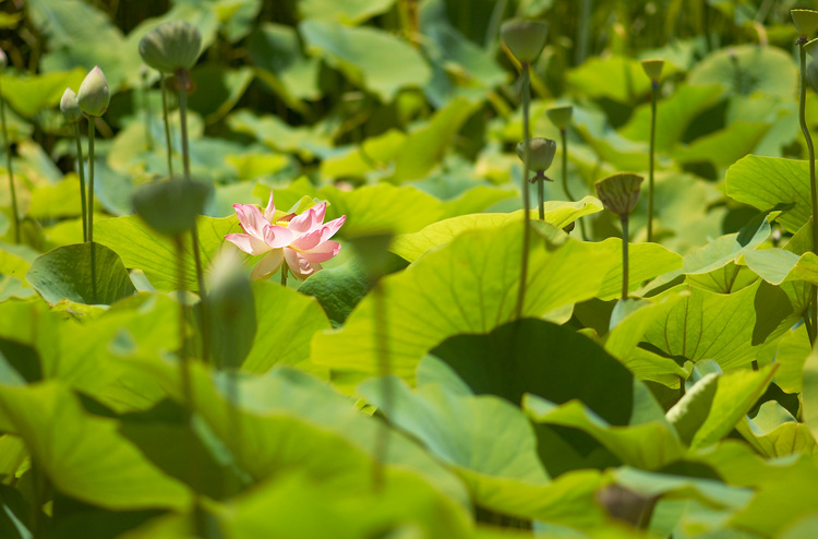 A Lotus flower among a sea of leaves and seed-pods