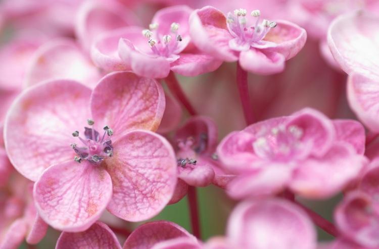 Closeup of pink hydrangea flowers