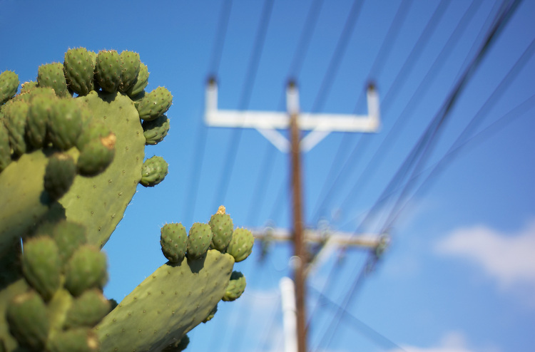Prickly pear with a Stobie pole in the background