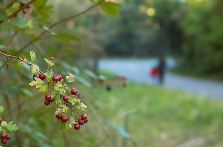 Hawthorn berries in the Adelaide Hills