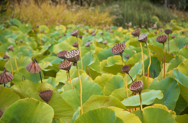Seen objects a photoblog lotus seed pods dried lotus seed pods mightylinksfo