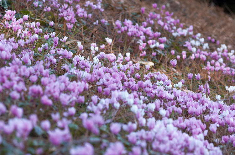 A mass display of cyclamen flowers