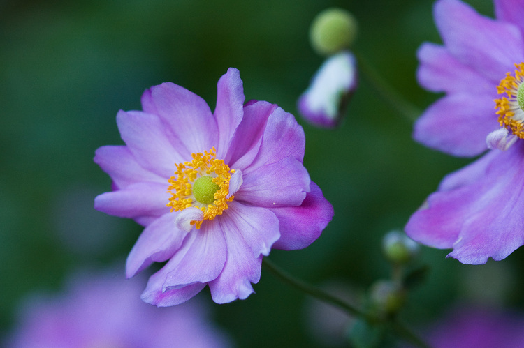 Japanese anemone flower gallery for Anemone giapponese