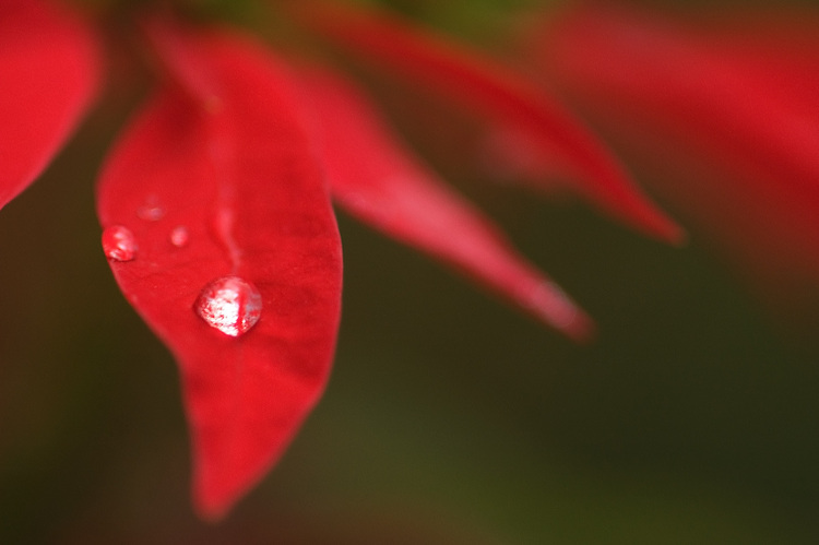 Drops of rain on a poinsettia bract