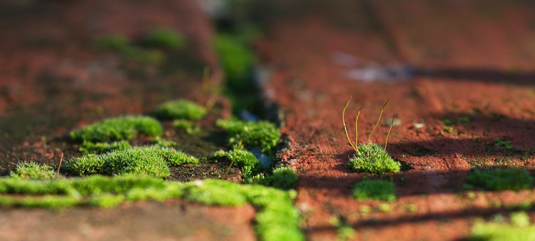 Closeup of moss growing in, and between, bricks