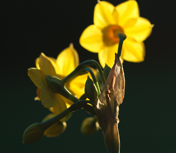 A spray of yellow jonquils, seen from behind