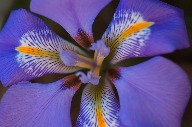 Closeup of an Iris flower