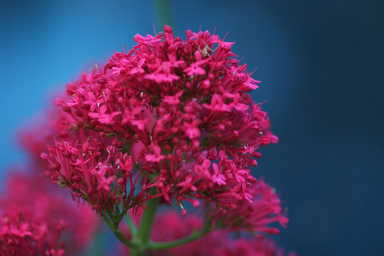 seen objects - a photoblog - Red Valerian