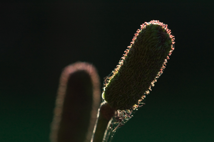 Silhouette of a seedhead