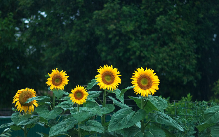 A group of sunflowers