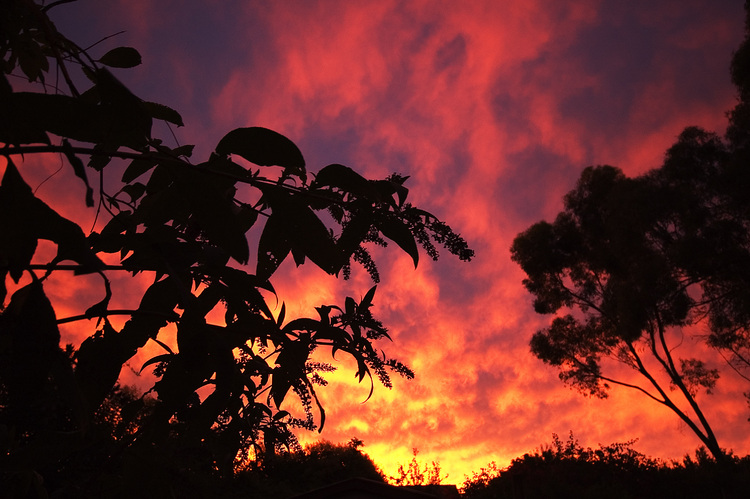 A Buddleia plant silhouetted against a sunset sky