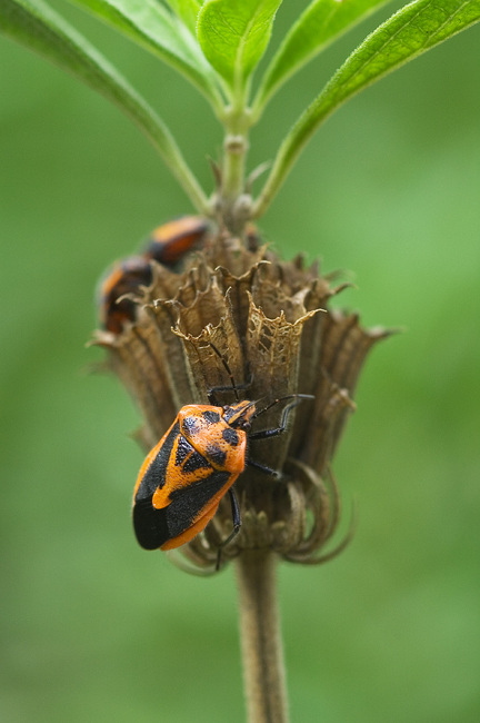 Closeup of black and orange-backed beetles crawling on a seedhead.