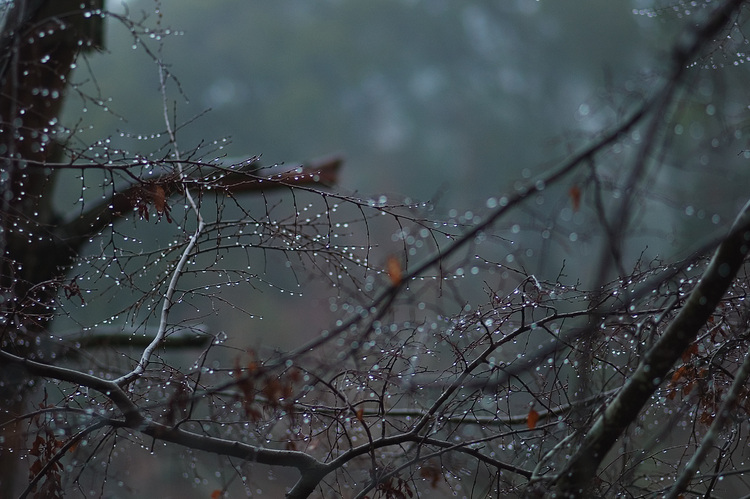 Rain drops on Birch trees against a misty background