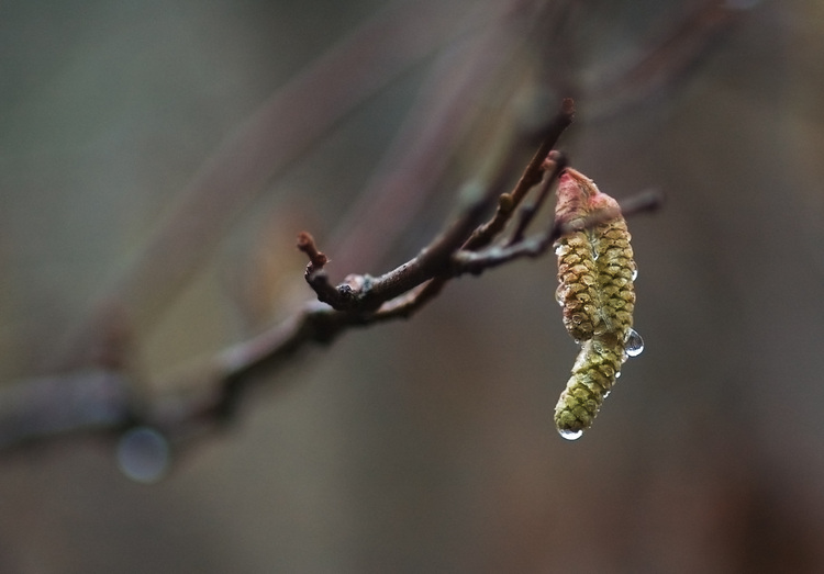 Closeup of rain drops on a Birch tree