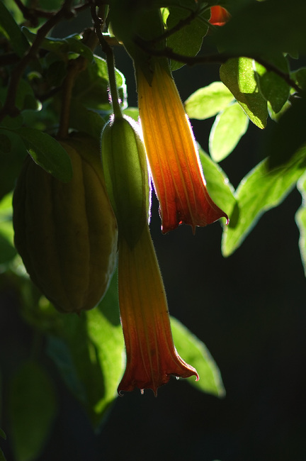 Closeup of Brugmansia arborea flowers and fruit