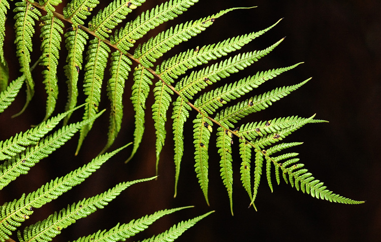 Fern Pictures Free a Free Fern Frond