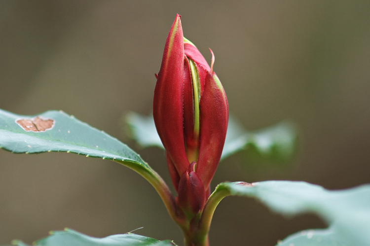 Closeup of a red rhododendron bud