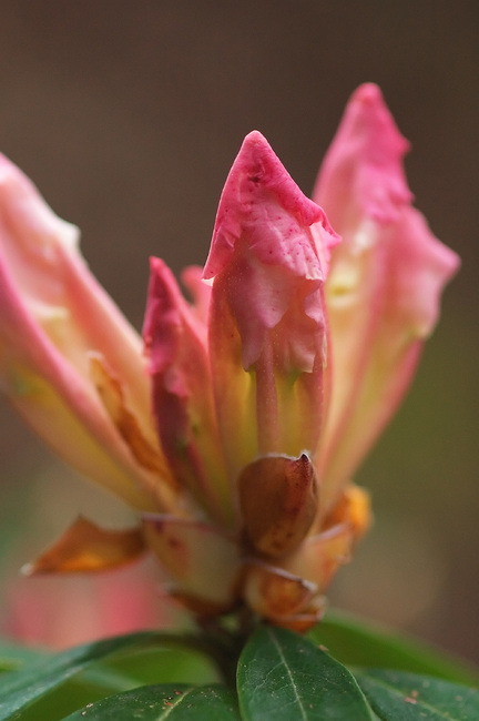 Closeup of a pink Rhododendron bud just opening
