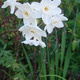 White Jonquils