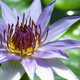 Closeup of a Water Lily