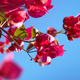 Bougainvillea flowers against a blue sky