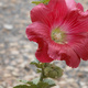 A red Hollyhock flower