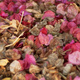 Bougainvillea bracts covering the ground