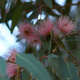 Eucalypt flowers on a tree