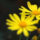 Closeup of yellow daisy flowers