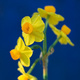 Closeup of yellow Jonquils against a blue background