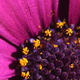 Closeup of a purple osteospermum flower