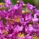 Closeup of crepe myrtle flowers