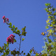 Crepe myrtle flowers against blue sky