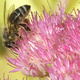 A bee on sedum flowers