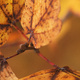 Closeup of autumn sycamore tree leaves